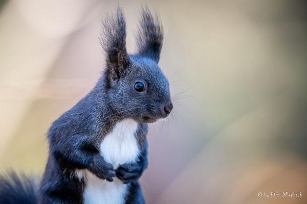 Eichhörnchen, Giessenpark