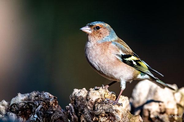 Buchfink, im Wald