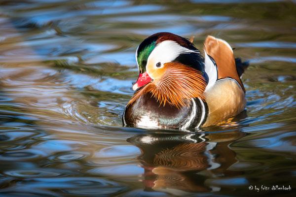 Mandarinente Männchen