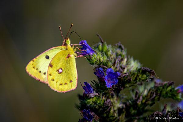 gelber Schmetterling, Klingnauer Stausee