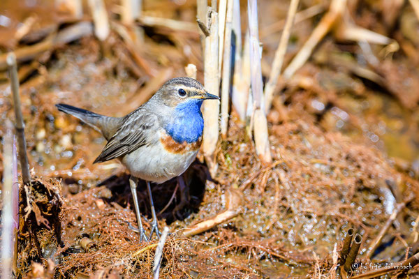 Blaukehlchen Männchen, stille Reuss