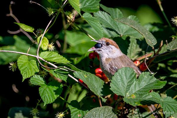 Mönchsgrasmücke Weibchen