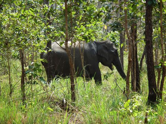 Eléphant d'Asie (Inde du Sud)