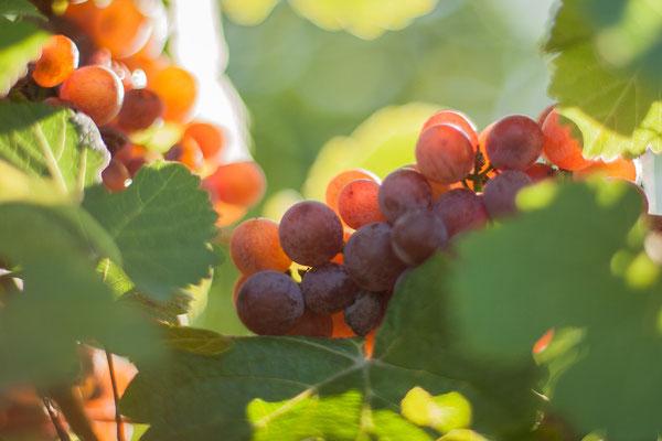 Nahaufnahme Weintrauben