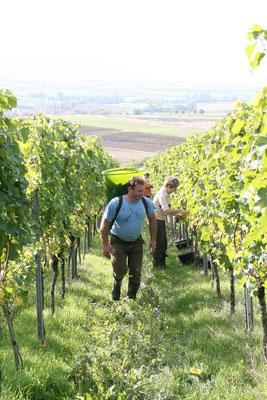 Weinlese bei Weinbau Böcher in Abtswind