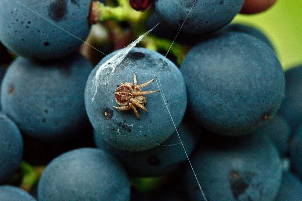 Kreuzspinne: Nützling im Weinberg
