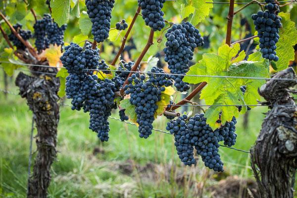 Rotwein-Trauben bereit zur Lese
