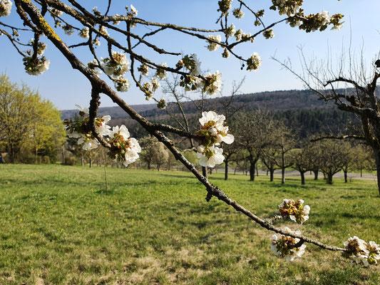 Kirschblüte auf Streuobstwiese (D. Mohr)