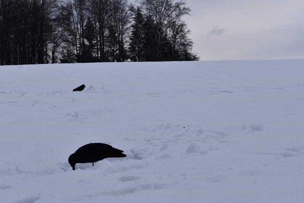 Das Lockbild bei der Krähenjagd im Winter