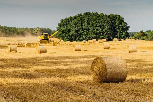 Geerntete Weizenfelder wirken wie Magnete auf die Krähen