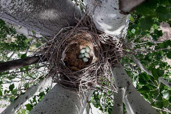 Die ersten Krähen Eier sind gelegt und die Rabenvögel brüten von Mai bis Juni