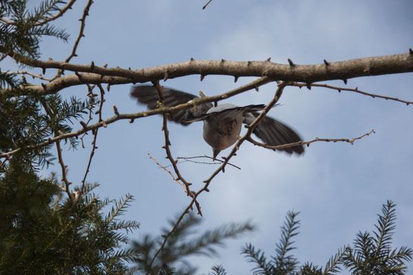 Die Krähe verteidigt ihr Nest gegen Eindringlinge