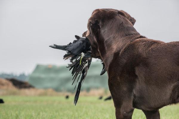 Der Jagdhund bei der Krähenjagd