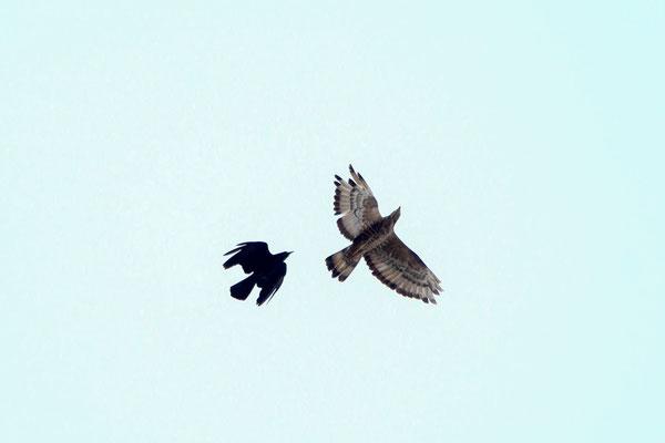 Die Krähe verteidigt ihr Nest vor Eindringlingen