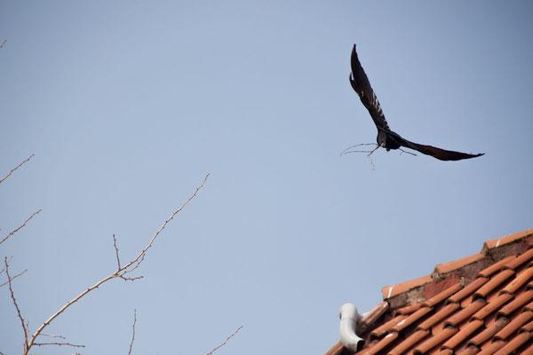 Rabenkrähen bilden die ersten Paare und bauen gegen Ende Monat ihre Nester