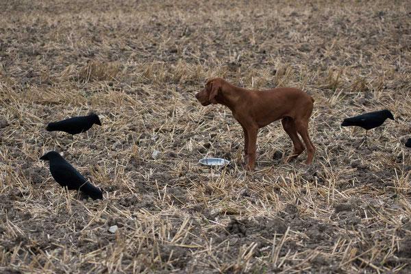 Lockkrähen dürfen den Hund nicht interessieren