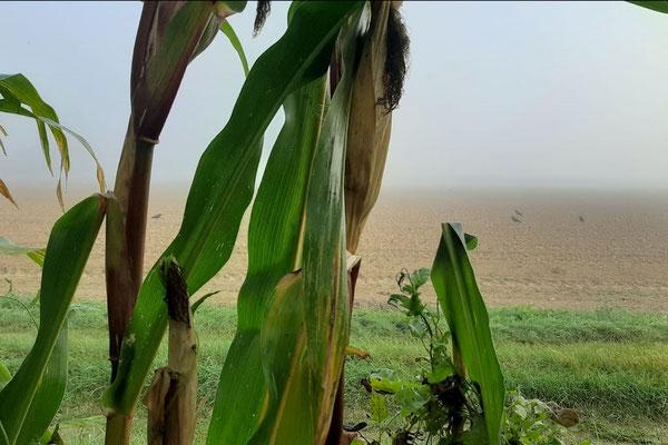 Die Krähenjagd im August und Maisfeld
