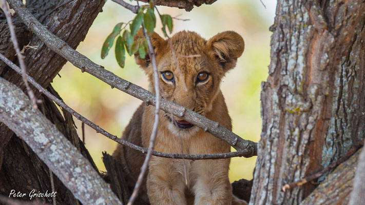 Löwe, Sambia