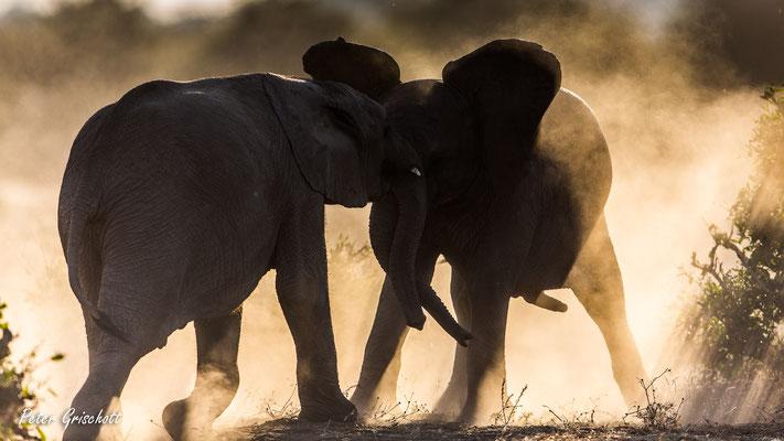 Elefanten, Sambia