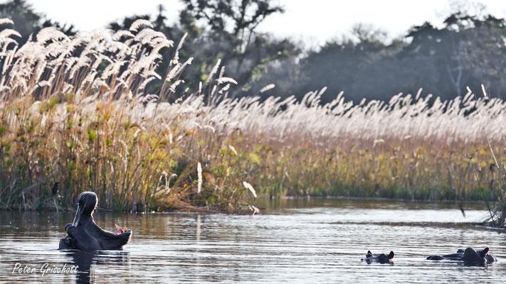 Nilpferde, Okawango Delta
