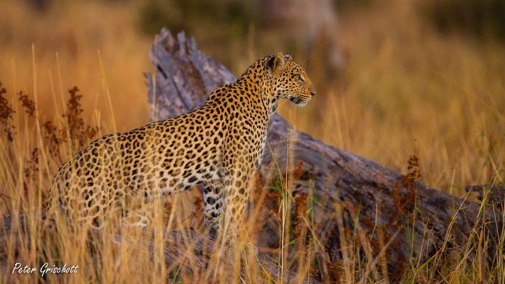 Leopard, Sambia