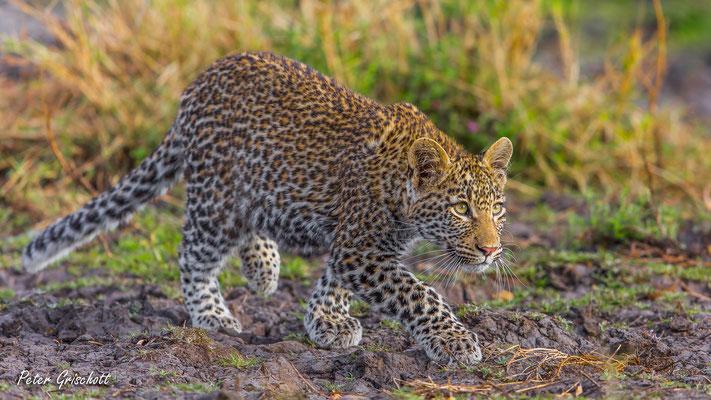Leopard, Afrika