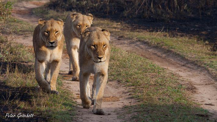 Löwen, Afrika