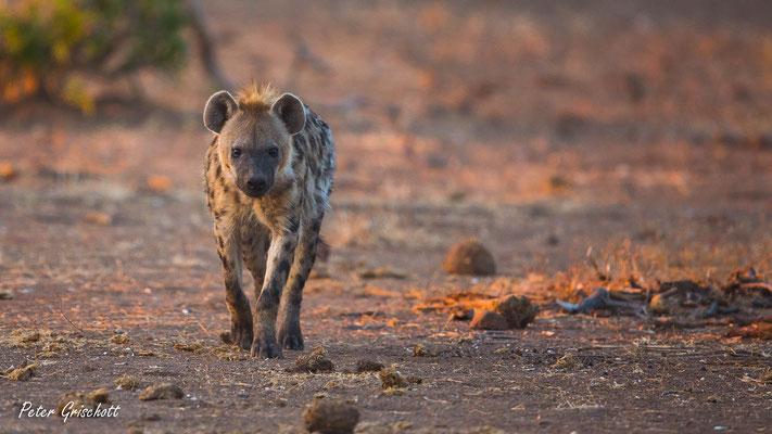 Hyäne, Sambia