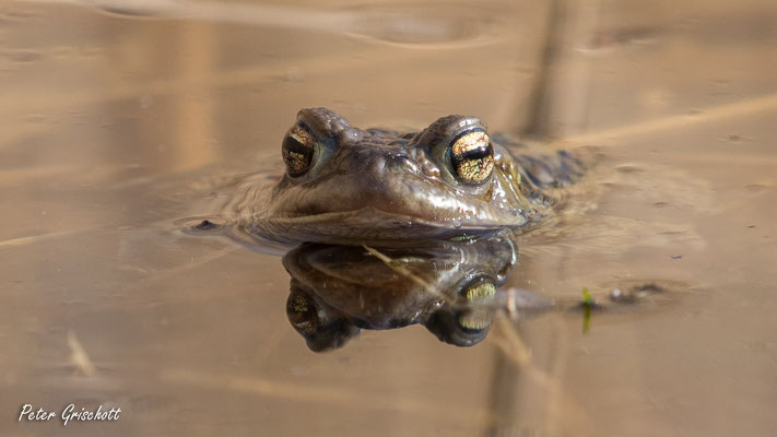 Frosch, Malans