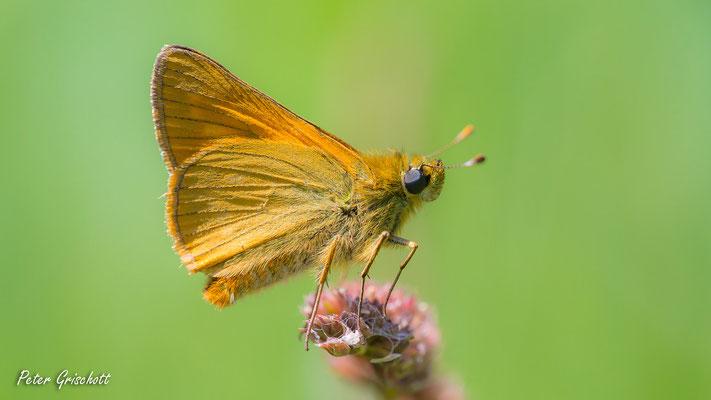 Schmetterling, Malans