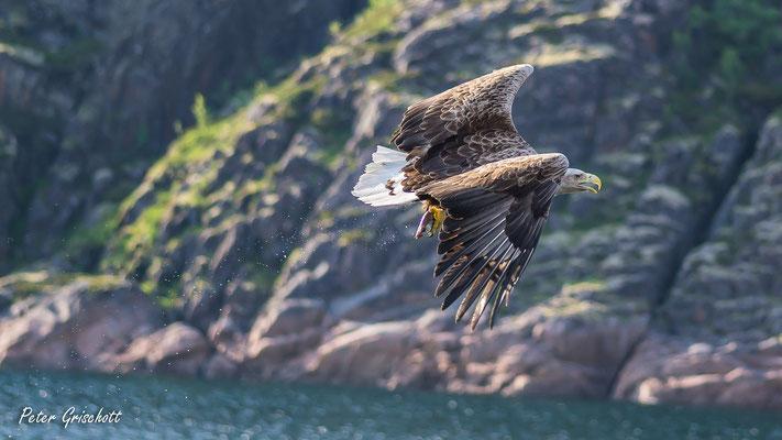 Weisskopfseeadler, Norwegen