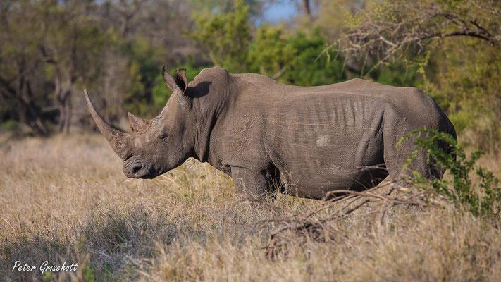 Nashorn, Afrika