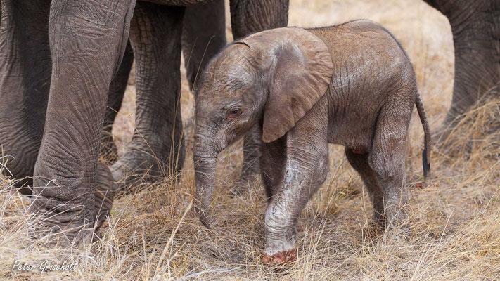 Elefant, Botswana