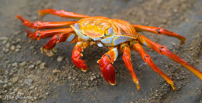 Krabbe, Galapagos