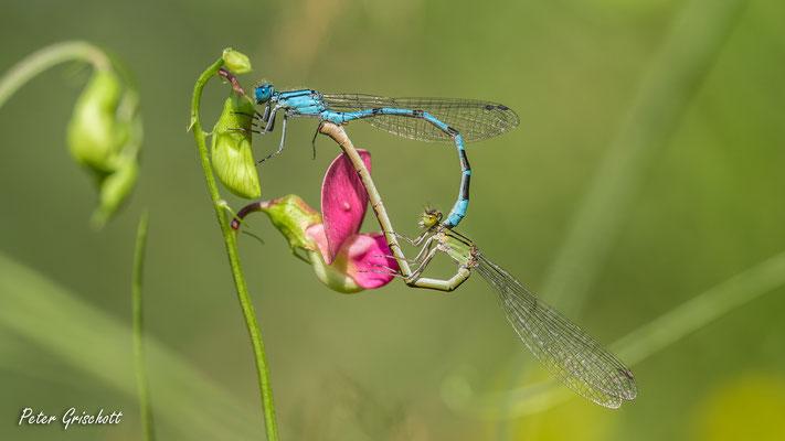 Libelle, Malans