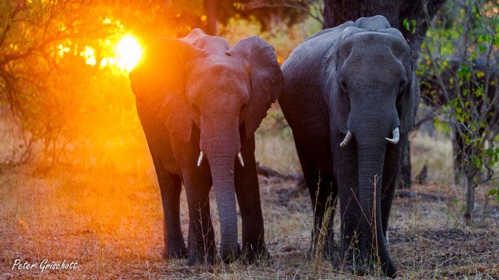 Elefanten, Botswana