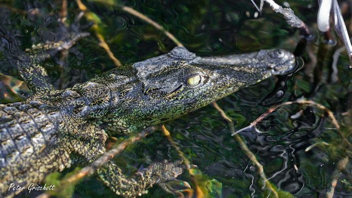 Krokodil, Botswana