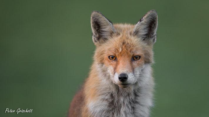 Fuchs, Malans