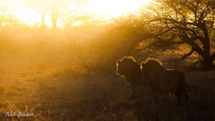 Löwen, Botswana