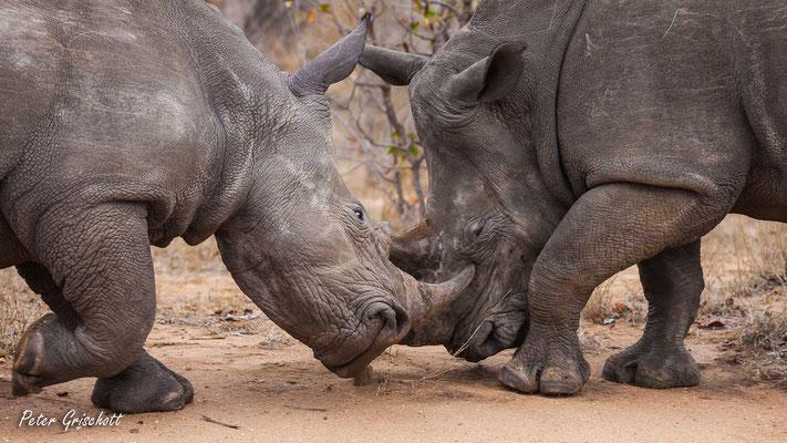 Nashörner, Botswana