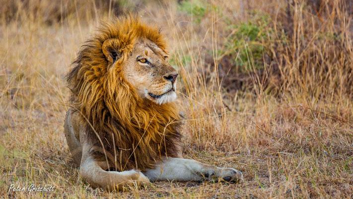 Löwe, Botswana