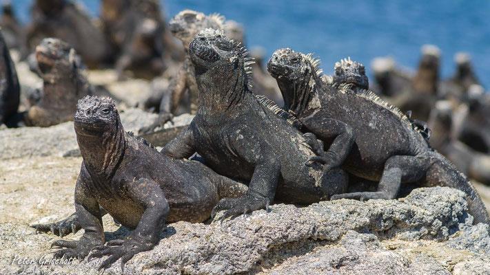 Galapagos Meerechse, Equador