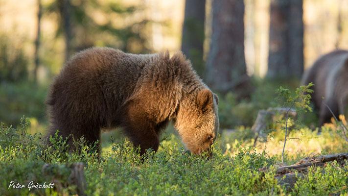 Braunbär, Finnland