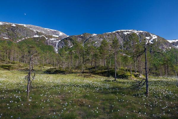 Wollgras am Gaularfjell