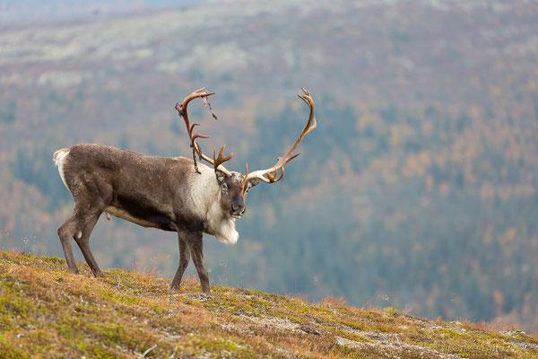 Rentierbulle, Idre Fjell