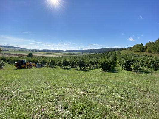 Blick auf das Holunderfeld am Lindenberg