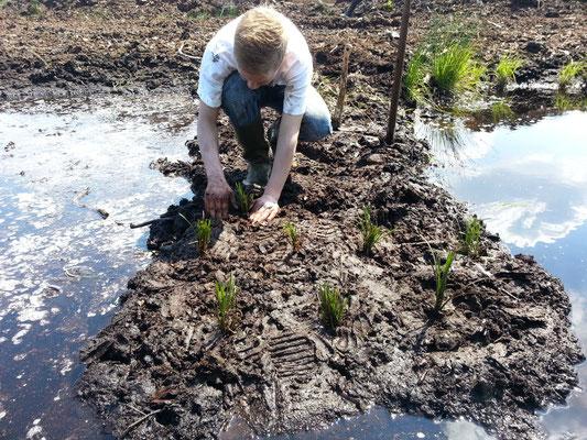Wollgraspflanzung