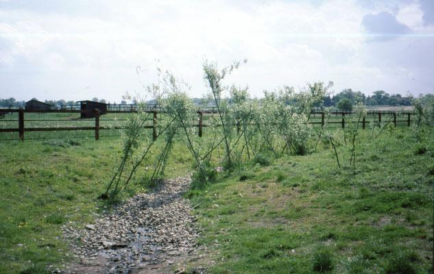 Anpflanzung von Kopfweiden Mai 1999
