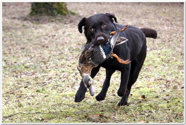"Pepper at field training. Picture taken by ""Labradogs"""