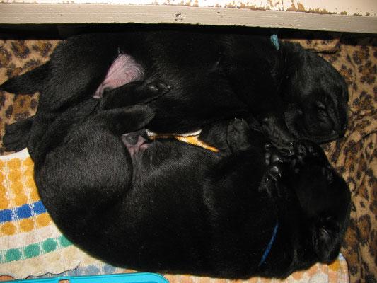"""Z"" litter 2,5 weeks / ""Z"" kucēni 2,55 nedēļas"
